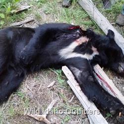 10 year old Landon's Spring Bear Hunt