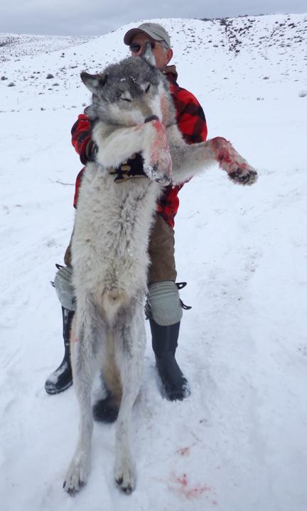 2016 Winter Wolf