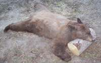 Idaho Spring Bear Hunt, Fall Bear Hunts
